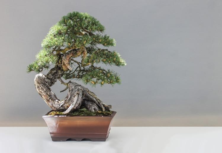 bonsai-1805501_1920